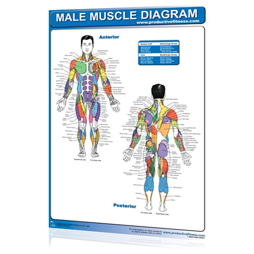 Male Muscle Diagram (Poster)
